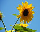 Seneca Lake Sunflower by John Schneider