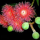 Red Flowering Eucalyptus by Magee