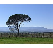 Solitude in a Vineyard Photographic Print