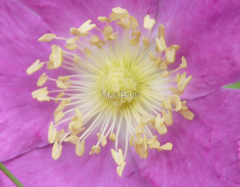 Inside a Wild rose by MaeBelle