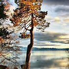 Pine Aglow by Barbara  Brown