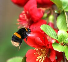 Bee on Japonica 1 by dsargent