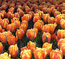 Golden Sunset of Tulips by A Bewley