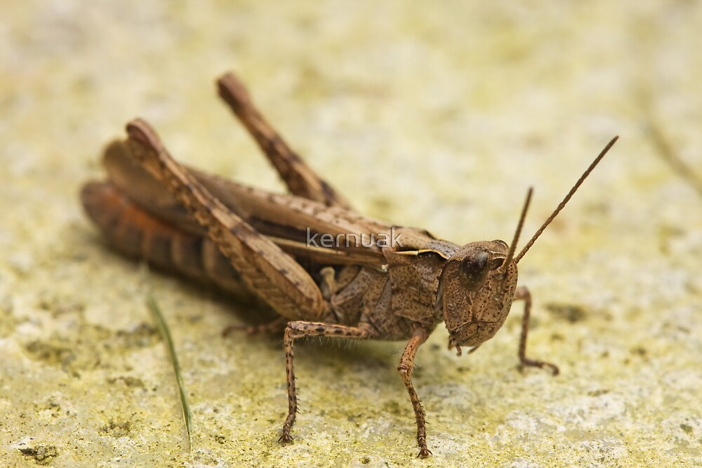 Common Field Grasshopper by kernuak