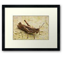 Common Field Grasshopper Framed Print