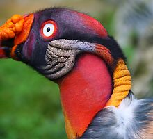 King vulture by SinaStraub