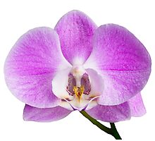 Moth orchid flower Photographic Print