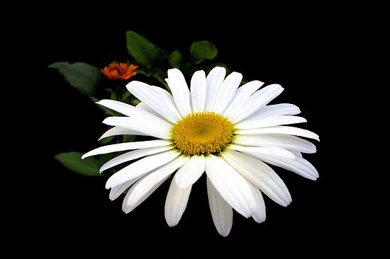 Daisy Love by Nancy Polanski