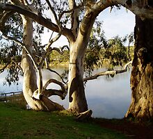 Murray River Gums by GailNormington