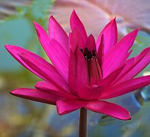 Fuscia Water Lily by kauaichelle