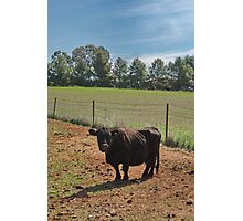 Mini Moo Photographic Print