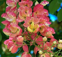 Rainbow Shower Tree Blossoms by kauaichelle