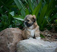 Lhasa Apso Pups by Ian Fraser