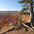 Tree's 9 roots from Bryce Canyon, Utah, USA by loiteke