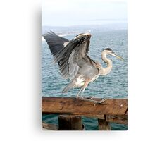 Great Blue Heron taking off at Newport Beach, California Canvas Print