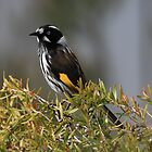 New Holland Honeyeater by David Jamrozik