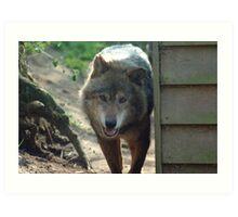Canadian Timber Wolf Art Print