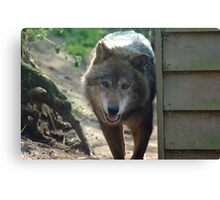 Canadian Timber Wolf Canvas Print