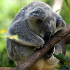 Sleeping Koala by Tony Steinberg