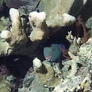 Parrotfish by Kristin Nichole Hamm