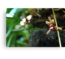 brown orchid Canvas Print