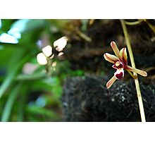 brown orchid Photographic Print