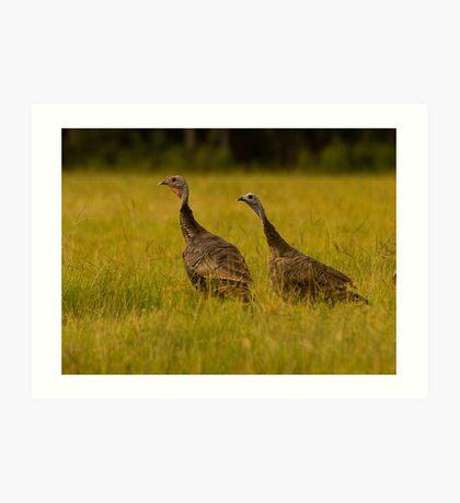 Osceola Turkeys Art Print