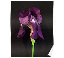 Irresistable Iris Poster