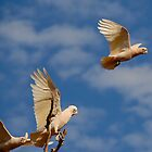Corellas line up for take off by Duncan Drummond
