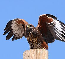 Juvenile Harris Hawk by tomryan