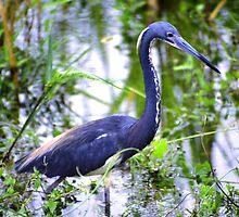 Louisiana Heron by Asoka