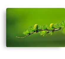 Conifers Canvas Print