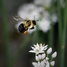 Bumble Bee in Flight by Renee Dawson