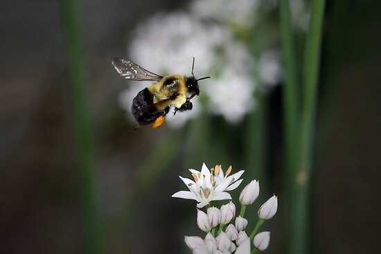 Bumble Bee in Flight by Renee Dawson