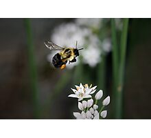 Bumble Bee in Flight Photographic Print