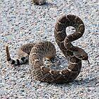 Diamond Back Rattlesnake by Barbara Manis