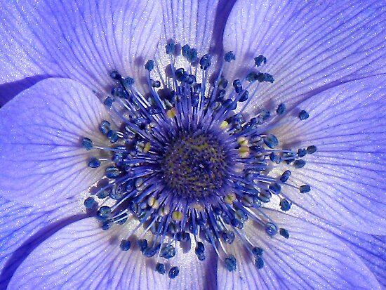The Heart of a Purple Poppy Anemone by Marilyn Harris