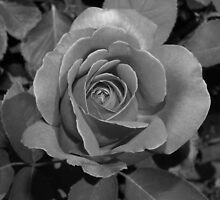 Pink Rose in black and white by dawnlopez331