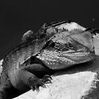 Water Dragon in Black & White by Of Land & Ocean - Samantha Goode