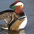 Male Mandarin Duck by Robert Abraham
