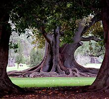 Moreton Bay Fig Adelaide Botanic Gardens by patapping
