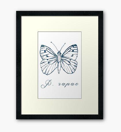 Pieridae Rapae Framed Print