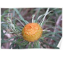 Orange Banksia Blossom Poster