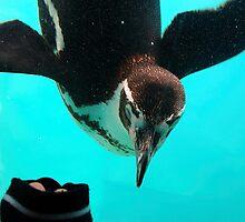 Humboldts Penguin by Stan Daniels