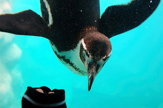 Humboldts Penguin by Stan Daniels