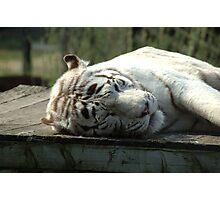 Bengal White Tiger, sleeping Photographic Print