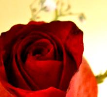 A Single Rose Sticker