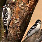 Downy Woodpeckers by BigD