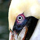 Florida Pelican by Danielle Girouard