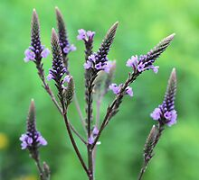 Lovely Vervain by SmilinEyes